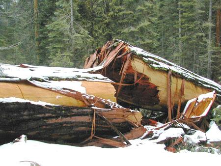 Yosemite Fallen Sequoias